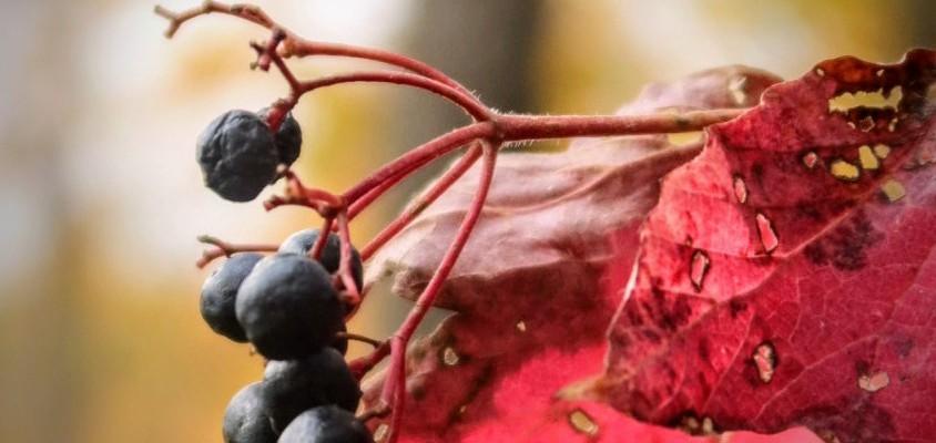 Chicago Autumn berries against forest