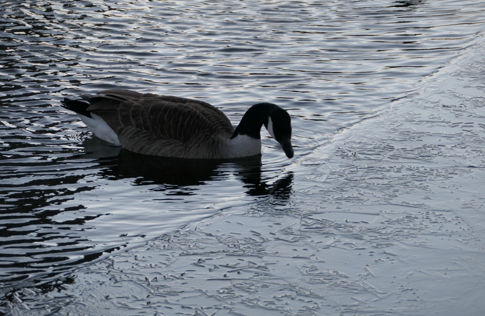Canada goose drinking in Lincoln Park